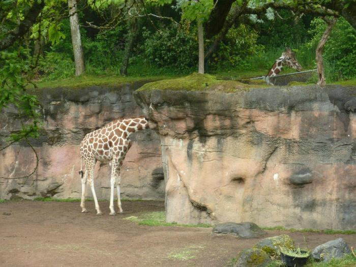 Жираф-шутник.